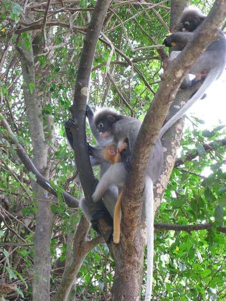 Ao Manao Monkeys 1wtmk